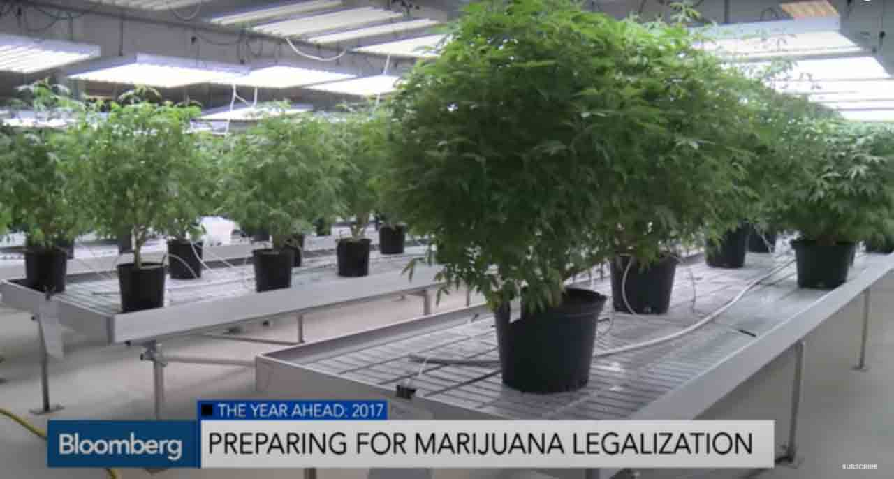 Marijuana plants in pots