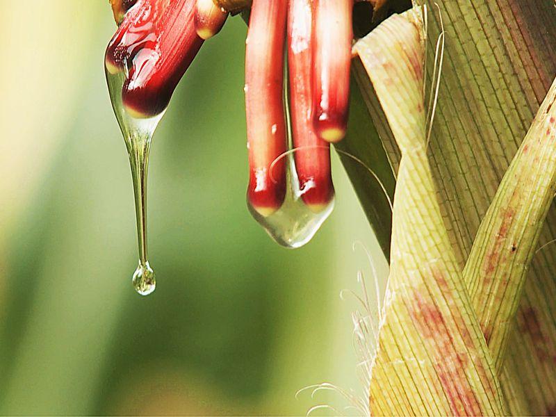 Corn of the future
