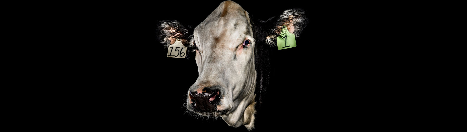 A more humane livestock industry, brought to you by Crispr