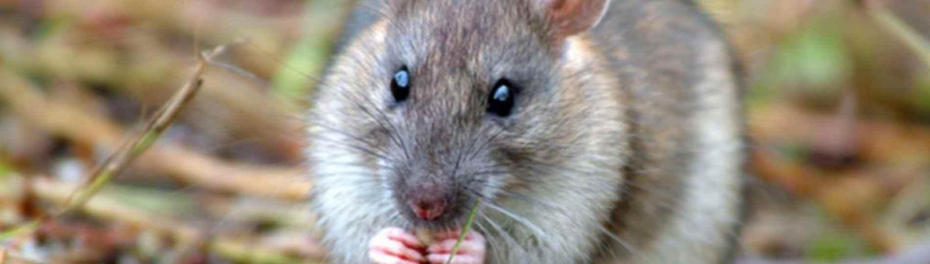 Rats driven